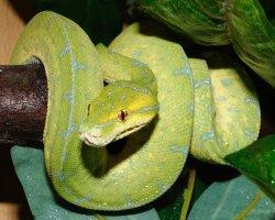 schlange python steckbrief